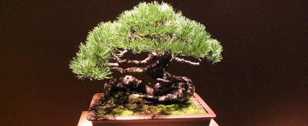 Bonsai, questi alberi in miniatura