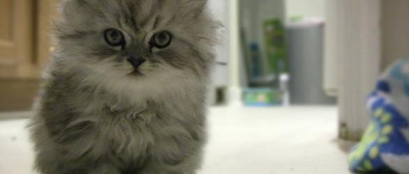 fiv la malattia che colpisce anche i gatti domestici