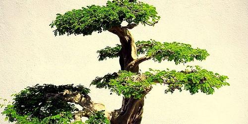 cura del bonsai risorseonline