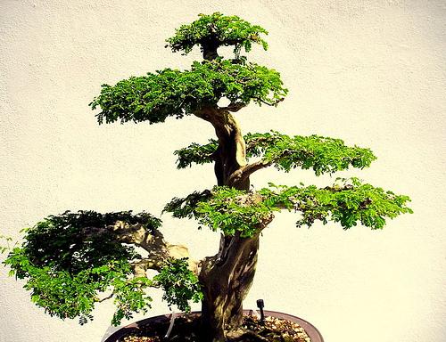 Cura del bonsai risorseonline - Cura dei bonsai in casa ...